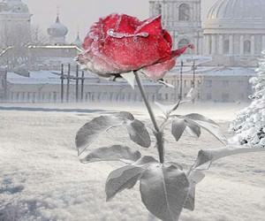 beautiful, rose, and winter image