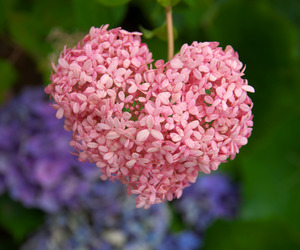 flowers, hydrangea, and heart image