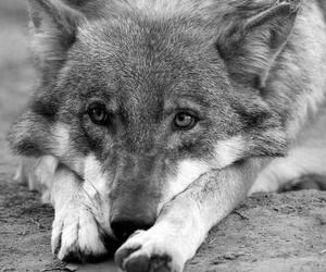 animal, wild, and wolf image