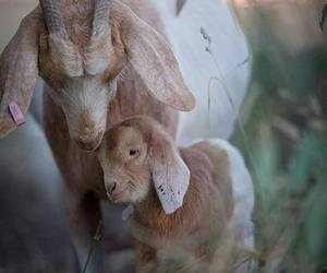 baby animals, cute animals, and goat. kid image
