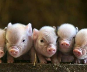 pig, piglet, and animal image