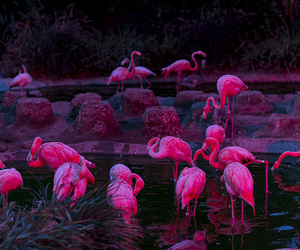pink, flamingo, and animal image