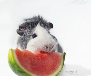 guinea pig and hamster image