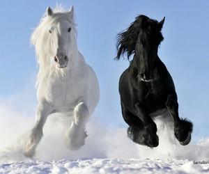 horse, black, and white image