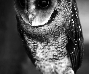 animals, owl, and black image