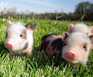 adorable, animals, and pig image