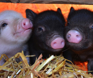 animals, want, and pig image
