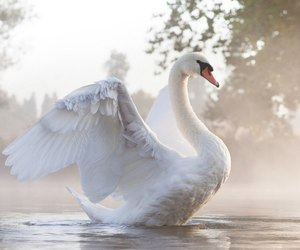 morning and Swan image