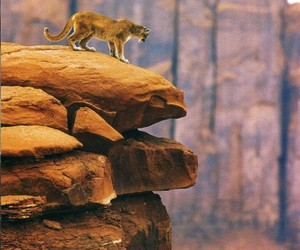 animal, cliff, and COUGAR image