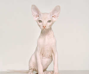 cat, hairless cat, and naked image