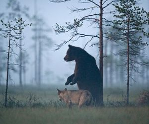 bear, nature, and wolf image