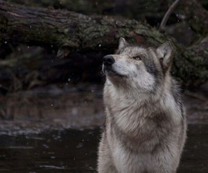 forest, lake, and wolf image