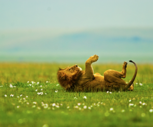 lion, flowers, and animal image