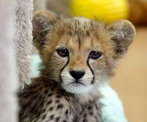 animal, cute, and cheetah image