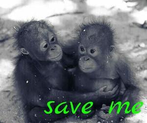 Save Me, animal, and gorilla image