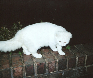 cat, white, and grunge image