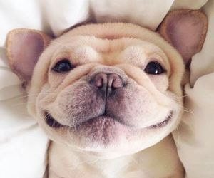 adorable, french bulldog, and puppy image