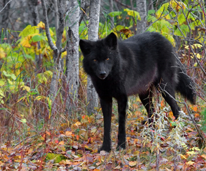 wolf, amazing, and animal image