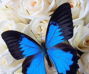 butterfly, blue, and rose image