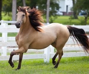 horse, running, and buckskin image