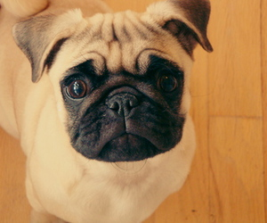 baby, pug, and cute image