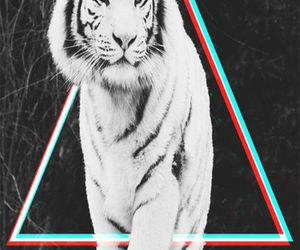 animal, black and white, and tiger image