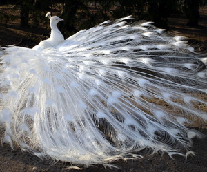 peacock, white, and animal image