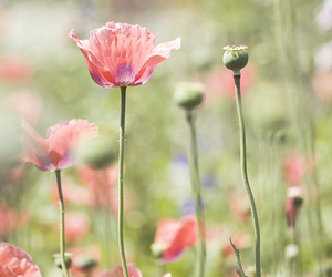 flowers, poppies, and poppy love image