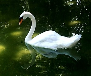 animal, water, and white swan image