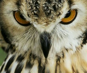 angry, owl, and face shot image