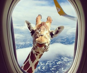 funny, giraffe, and airplane image