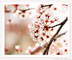 cherry blossoms, red, and flowers image