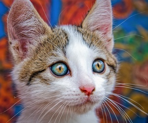 blue eyes, cute, and cat image