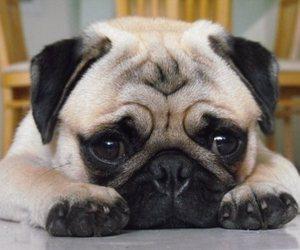 pug, adorable, and dog image