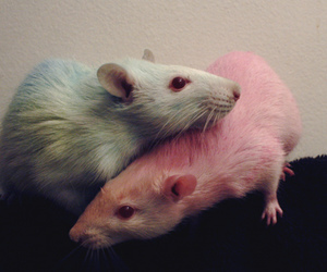 rat, blue, and mouse image
