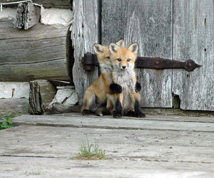 fox, cute, and animal image