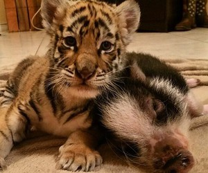 adorable, baby, and tiger image