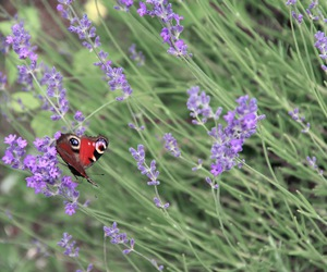 butterfly, lavender, and field image