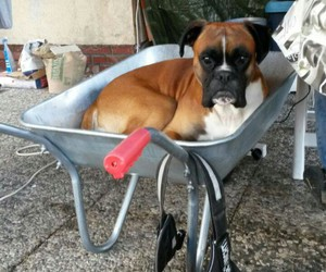 animal, boxer, and chilling image