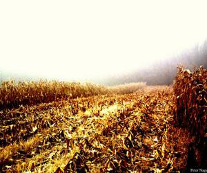 corn and field image