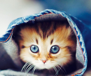 blue eye, cat, and cute image