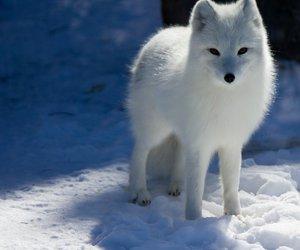 fox and snow arctic fox image