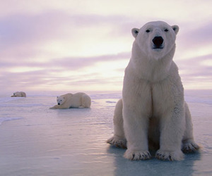 Polar Bear, bear, and white image