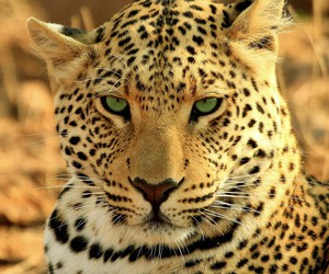 animal and leopard image