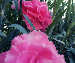 beautiful, flower, and pink image