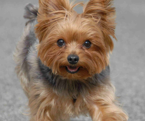 yorkie and cute image