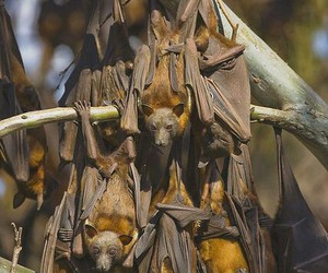 bats and flying foxes image