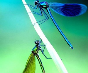 dragonflies, nature, and wallpaper image