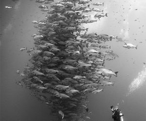 photography, black and white, and fish image