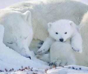 Polar Bear, bears, and cub image
